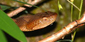 Copperhead Snake - United States — Stock Photo
