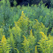 Goldenrod Background — Stock Photo