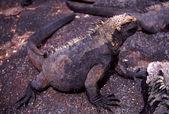 Marine Iguana (Amblyrhynchus cristatus cristatus) — Stock Photo
