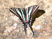 Zebra Swallowtail (Eurytides marcellus) — Stock Photo
