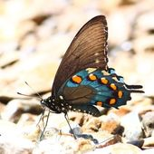 Pipevine Swallowtail (Battus philenor) — Stock Photo