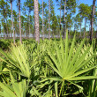 Stock Photo: Saw Palmetto and Pine Flatwoods