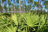 Saw Palmetto and Pine Flatwoods — Stock Photo