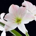 ������, ������: Amarillys Flower