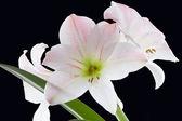 Amarillys çiçek — Stok fotoğraf