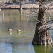 Cypress, ducks and ice — Stock Photo