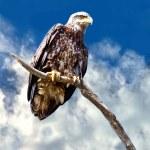 Juvenile Bald Eagle — Stock Photo