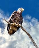 Aquila calva giovanile — Foto Stock