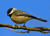 Black-capped chickadee — Stockfoto