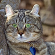 Gray Tabby Cat — Stock Photo