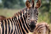 Zebra em akagera national park em ruanda — Fotografia Stock