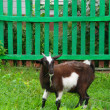 Brown home goat eating grass near the fence — Stok fotoğraf