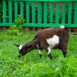 Brown home goat eating grass near the fence — ストック写真