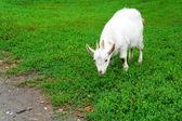 Casa blanca niño come hierba — Foto de Stock