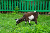 Brown home goat eating grass near the fence — Стоковое фото