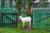 White goat home near the fence against the house — ストック写真