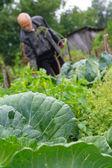 Starší muž v zahradě o pěstování zelí — Stock fotografie