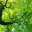 Mighty tree with green leaves — Stock Photo #10580418