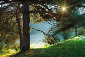 Pine tree and sun rays through the branches — Stock Photo