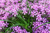 Small pink flowers in green grass — Stock Photo