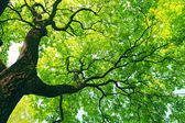 Mighty tree with green leaves — Stock Photo