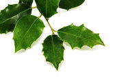European Holly leaves — Stock Photo