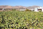Cactus fields — Stock Photo