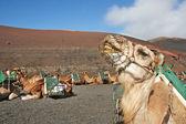 Camels sitting in the Timanfaya National Park — Stok fotoğraf