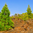 Pine grove in Teide National Park, Tenerife, Canary Islands, Spa — Stock Photo