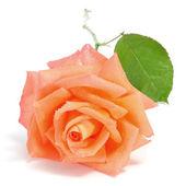 Rose orange — Photo