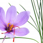 Постер, плакат: Saffron flower