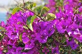 Bougainvillea bush — Stock Photo