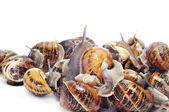 Land snails — Stock Photo