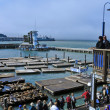 Californiselions on Pier 39 in SFrancisco, United States — Stock Photo #9673574