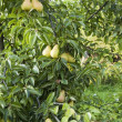 Pears in garden — Stock Photo