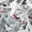Frosty plant — Stock Photo