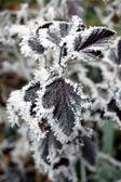 Frosty plant — Stock Photo