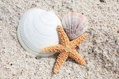 Seastar and shells — Stock fotografie