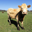 Stock Photo: Panoramic cow view