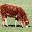 Pretty little calf — Stock Photo