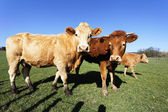 Cow familly with blue sky — Stock Photo