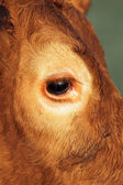 Olho de vaca — Fotografia Stock