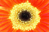 Gerbera closeup — Stockfoto