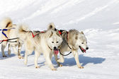 White husky dogs — Stock Photo