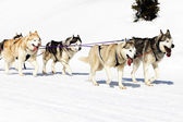 Dogs walking on the snow — Stockfoto