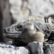 Panoramic iguana — Stock Photo