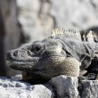 Panoramic iguana — Stock Photo #8443358