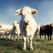 Stockfoto: Cows spirit