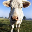 White calf — Stockfoto