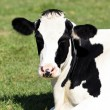 Black and white cow — Stock Photo